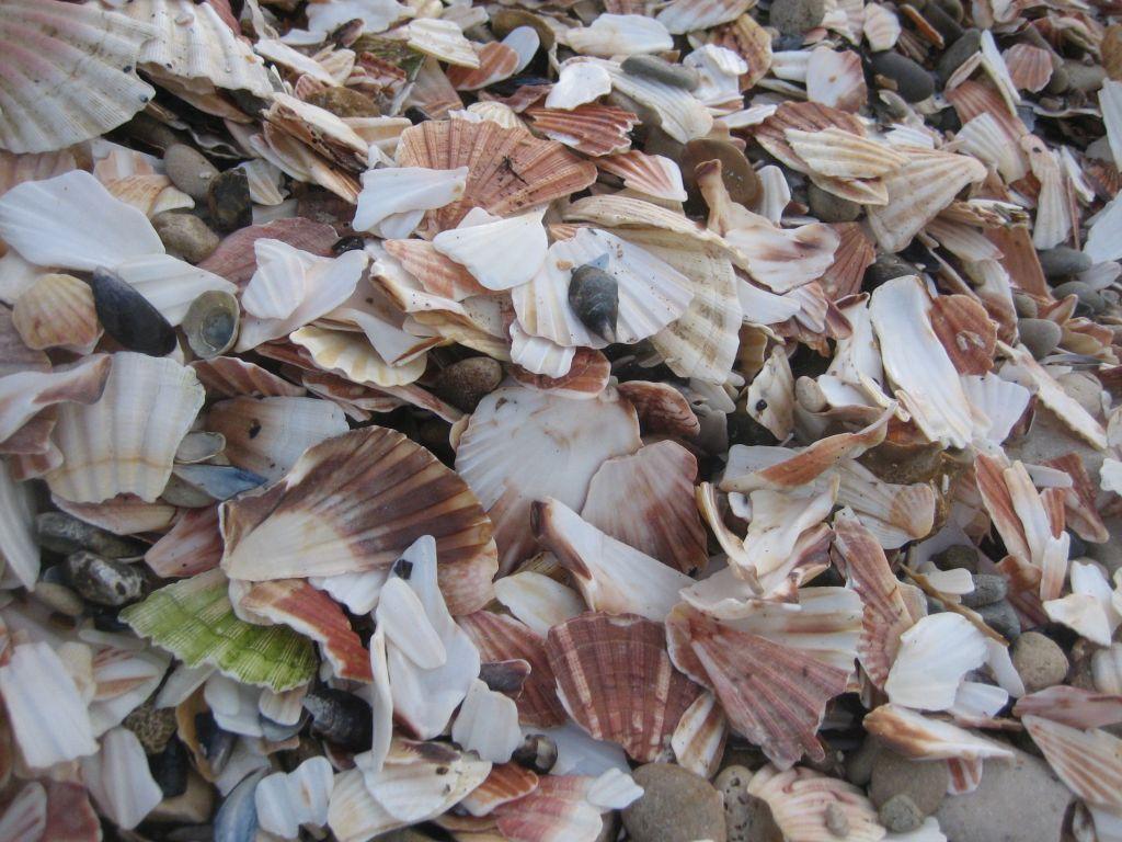 Haufenweise Muschelschalen am Strand