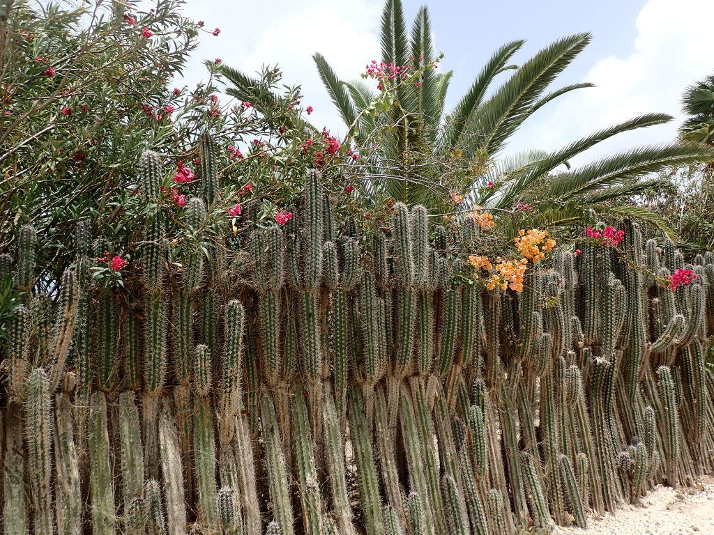 Kaktuszaun