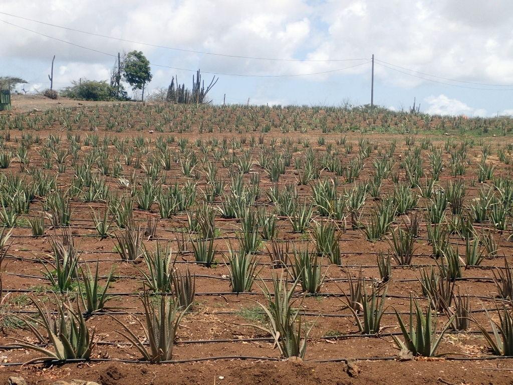 Aloe Vera-Plantage